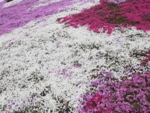 芝桜カラフル