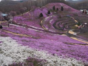 芝桜開花状況