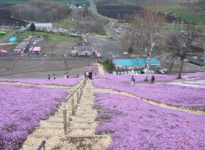 芝桜 階段