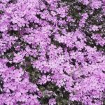 北海道東藻琴芝桜公園はGW後が見頃!札幌から網走観光に行ってきました!
